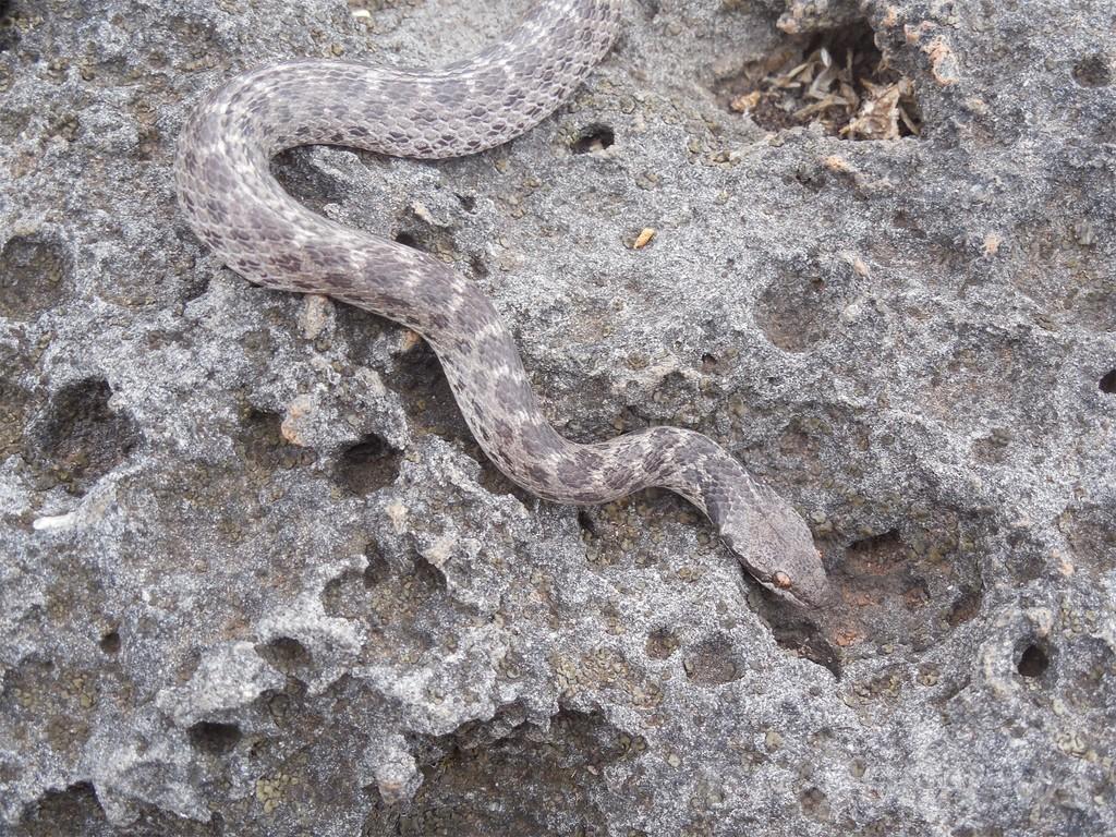 「絶滅」のヘビ、数十年ぶりに太平洋の島で発見 メキシコ