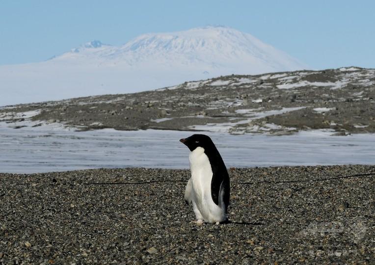 南極のアデリーペンギン、ひな大量餓死 生き残りは2羽のみ
