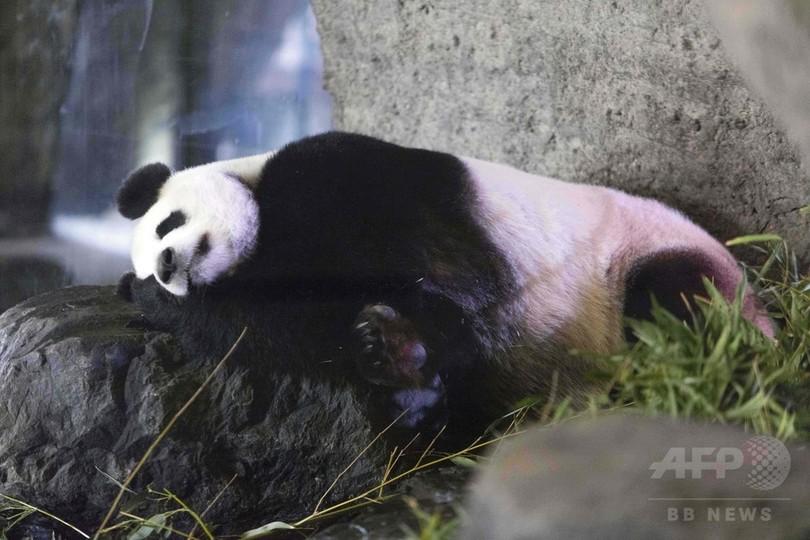 パンダに妊娠の兆候、初夏にも赤ちゃん誕生か ベルギー