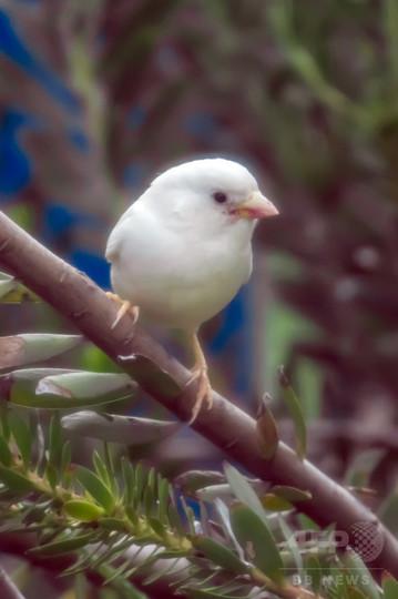 希少な白いスズメ、オーストラリアで発見
