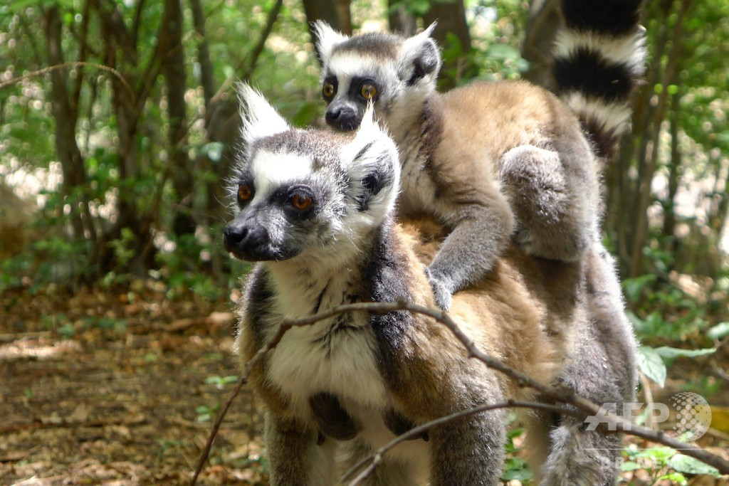 キツネザルの95%が絶滅危機、IUCN報告