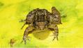 ミニチュア新種カエル7種、インドで発見
