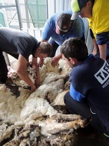 毛が伸びすぎた巨大羊、豪全国王者が毛刈り 40.45キロ分
