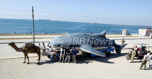 「世界サメの日」、サメの実物大模型をラクダで搬送