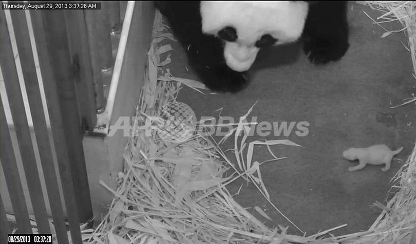 赤ちゃんを優しく見守るパンダ、 米ワシントン