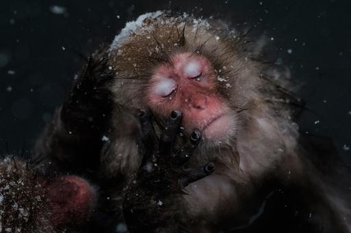 地獄谷の「スノーモンキー」、雪見温泉を楽しむニホンザルたち