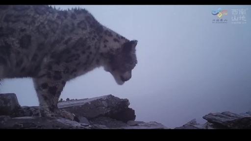動画:貴重映像! 雪山を背景に歩くユキヒョウを確認 中国四川省