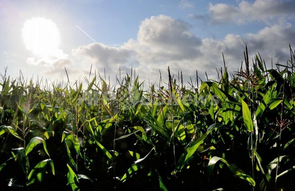 害虫抵抗性作物への耐性持つ害虫が増加、研究