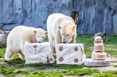 氷のケーキでお祝い、1歳になった独動物園のホッキョクグマ