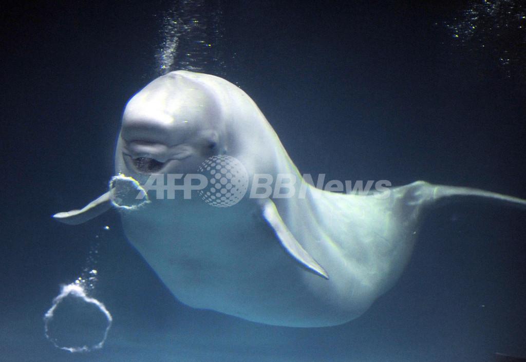 しまね海洋館のシロイルカ、得意技「バブルリング」を披露