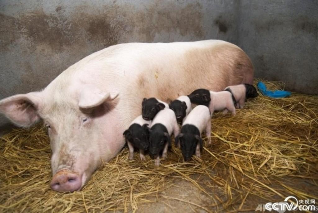 11匹のクローン豚が誕生 浙江省金華市