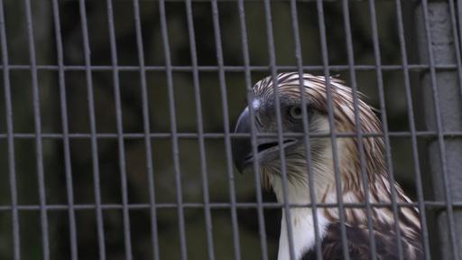 動画:絶滅危惧種フィリピンワシ、シンガポールで披露 国外での繁殖目指す