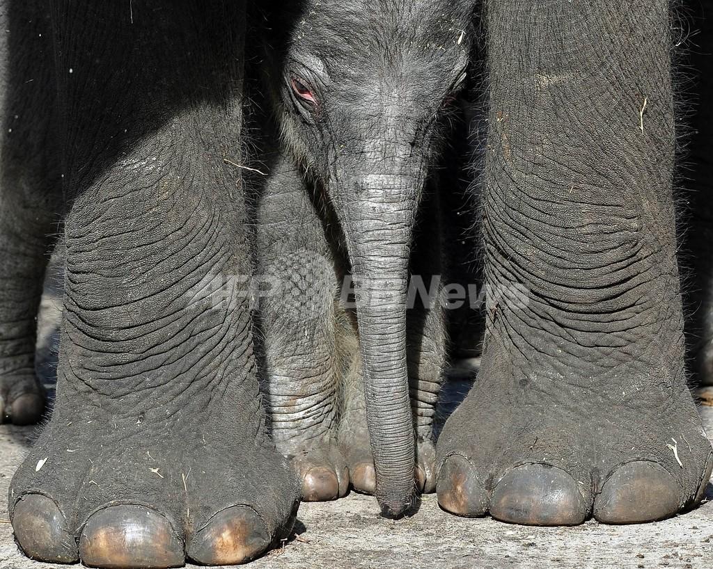 ゾウの足に6本目の「指」、サイエンス誌