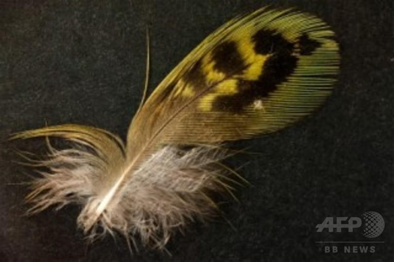 世界で最も発見困難な鳥か、豪南部で羽根見つかる