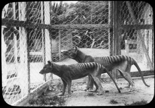 タスマニア島のフクロオオカミ、絶滅の原因は人間 豪研究