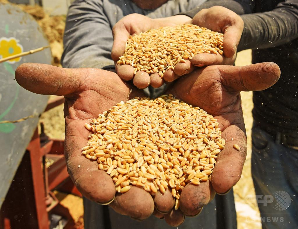 温暖化でコメや小麦などのタンパク質含有量が低下 研究