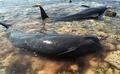 ゴンドウクジラが多数打ち上げ 10頭救出も7頭死ぬ インドネシア