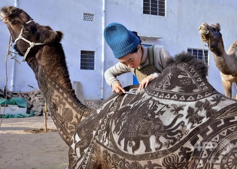 「ラクダアート」に挑む日本人女性、毛を刈り美しい模様描く インド