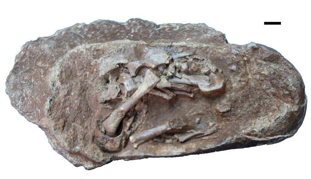 羽毛恐竜の抱卵温度、ニワトリと同程度 研究