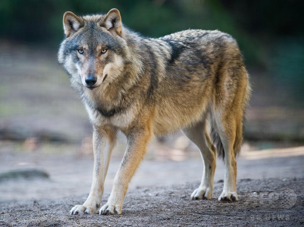 19世紀初頭に絶滅したオオカミ、2世紀ぶりに発見 デンマーク
