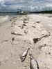 米フロリダで赤潮「過去10年で最悪」、海洋生物が大量死