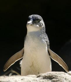 ペンギン6羽撲殺の男に社会奉仕活動の刑、保護団体が非難 豪