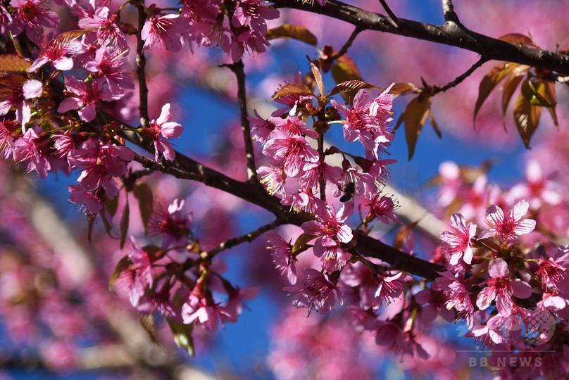 冬空に映える桜 中国・昆明