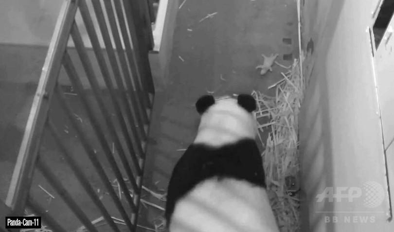 生き残った赤ちゃんパンダは「雄」、米スミソニアン動物園