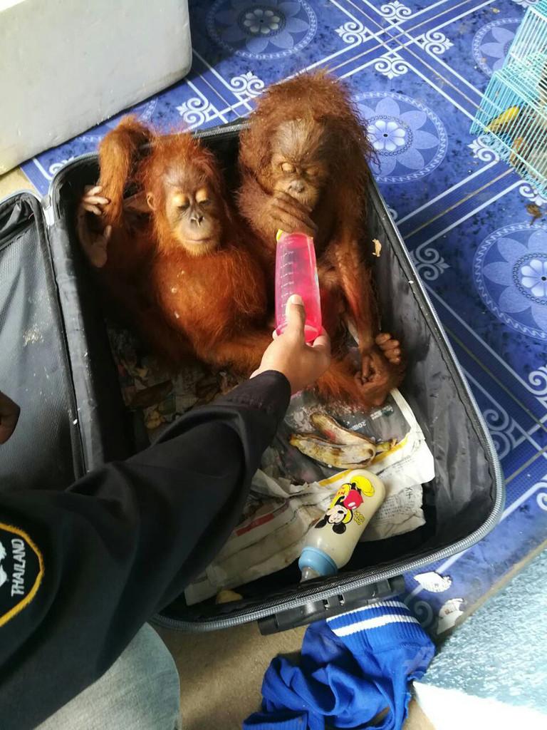 オランウータンをスーツケースに…マレーシア人、密輸未遂で逮捕