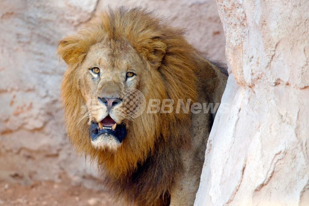 アトラスライオンを絶滅から救え、ラバト動物園の挑戦