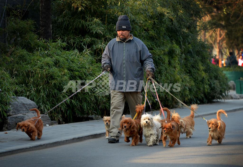 小型犬が群れでお散歩、北京の日常風景?