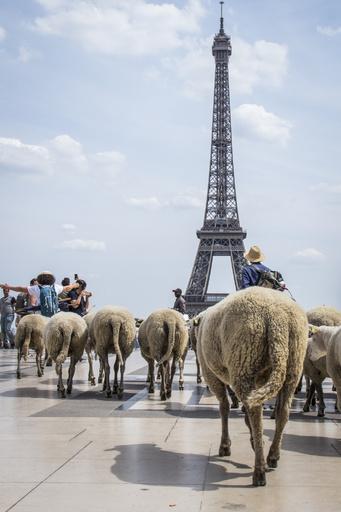 羊の群れが仏パリを大行進、都市農業の利点をPR