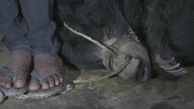 動画:ネパール最後の「踊る熊」救出 大道芸の見せ物、虐待と批判