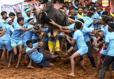 インド牛追い祭り「ジャリカット」、負傷者多数
