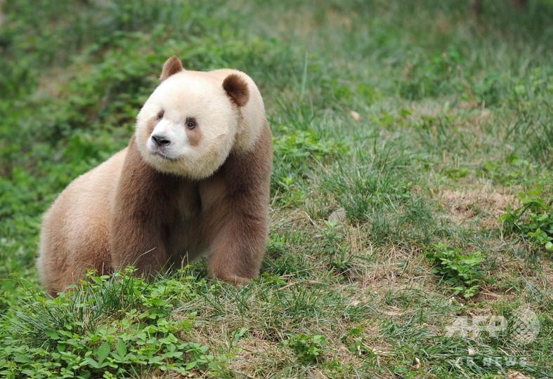 秦嶺山脈の茶色パンダ「チーザイ」