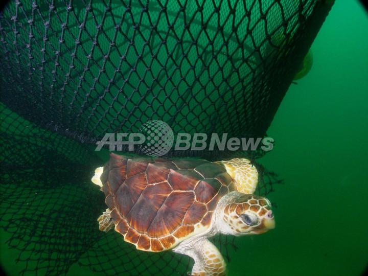 漁網改良などでウミガメの混獲が大幅減少、米研究