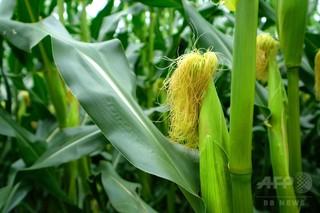 遺伝子操作でトウモロコシの栄養強化、米研究