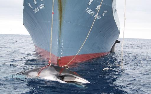 日本の調査捕鯨制限へ決議採択 IWC総会、法的拘束力なし