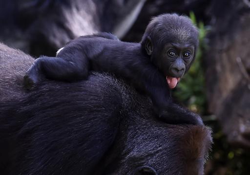 動画:ニシローランドゴリラの赤ちゃんすくすく、繁殖成功 ブラジル