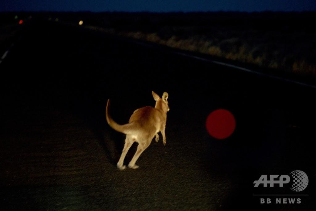 豪干ばつ、野生動物が直面する危機的状況 交通事故も急増