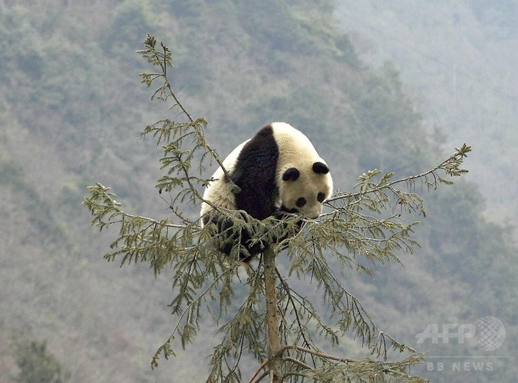 「野良パンダ」にかまれた男性に賠償金1000万円、中国