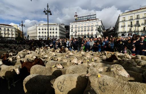 スペイン首都を羊の大群が行進、伝統の移動放牧の権利行使