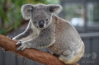 両耳切断されたコアラの死骸見つかる 豪ビクトリア州