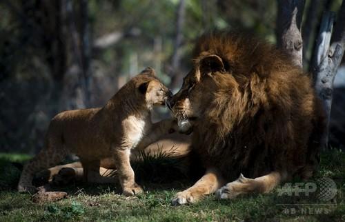 雄ライオンの生殖能力、手術で回復 チリ動物園