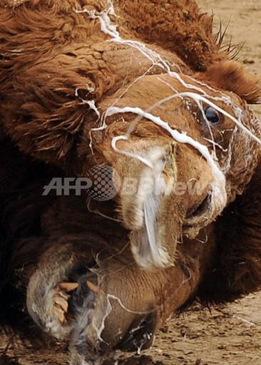 国際ニュース:AFPBB News「闘犬」ならぬ「闘ラクダ」、アフガニスタンで新年行事