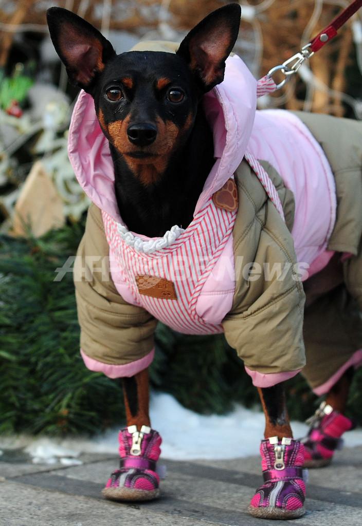 大寒波の北京、犬も「重装備」