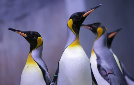 世界第2のコウテイペンギン繁殖地、ひなが3年連続ほぼ全滅