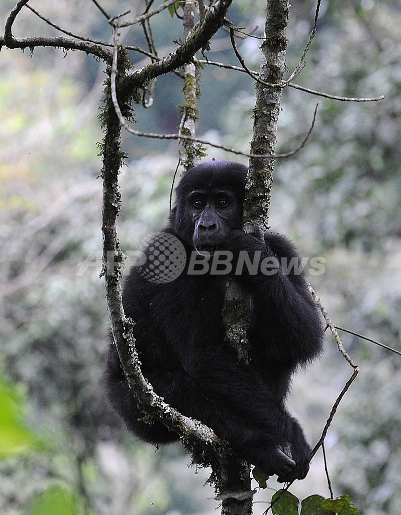 コンゴ盆地のゴリラ、10年以内に絶滅の危機
