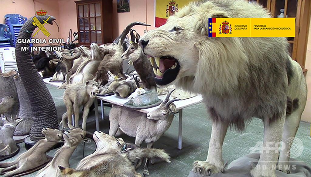 絶滅危惧種の動物剥製200点超を押収 スペイン、違法制作を摘発