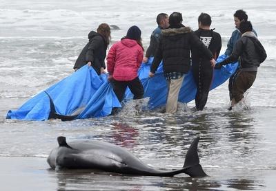 イルカ130頭超、茨城の海岸に打ち上げられる